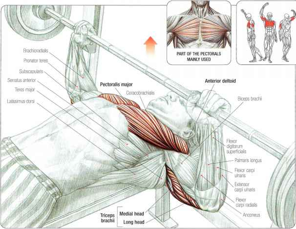 Chest Press Muscle Group Diagram Illustration Of Wiring Diagram