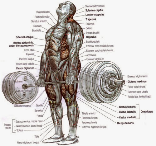 deadlift-delavier