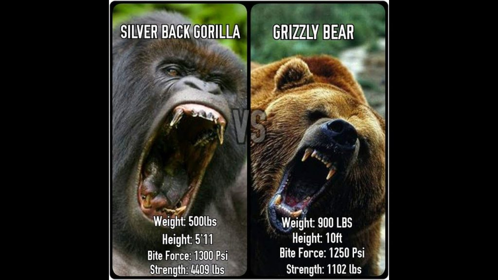 Gorilla vs Grizzly: Who Wins? - All About powerlifting